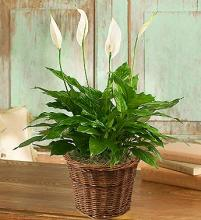 Spathiphyllum (Peace) Plant-small