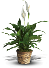 Simply Elegant Spathiphyllum (Peace Lily)